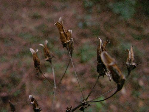 アケボノソウ 晩秋初冬黒褐色に熟すと先端が割れる