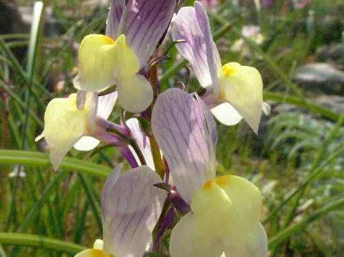 ムラサキウンラン 冬から夏 白黄紫混合