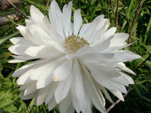 アネモネ 春 白