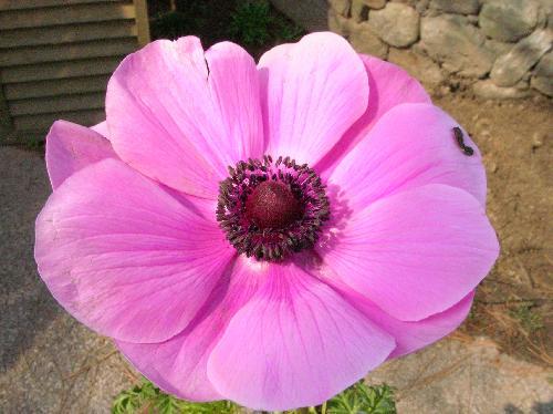 アネモネ 春 ピンク
