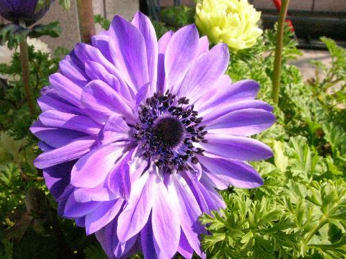 アネモネ 春 紫