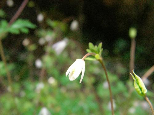 ヒメウズ 春 とても小さくて白い花