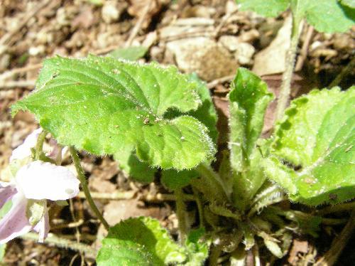 アオイスミレ 春先の葉柄や葉は毛が目立つ