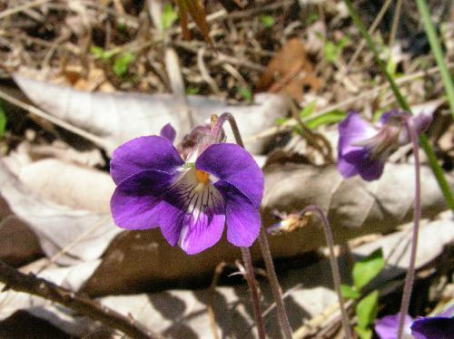 ニオイタチツボスミレ 春 赤紫色の花中心部の白が目立つ