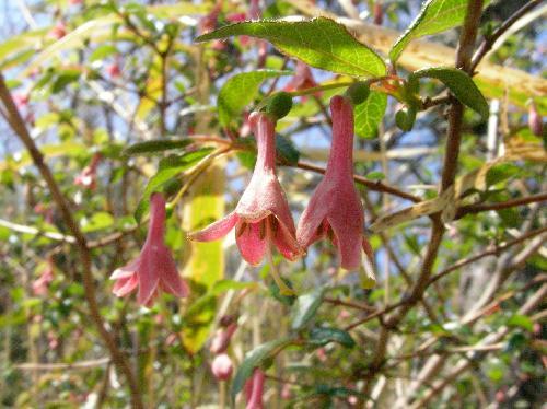 ウグイスカグラ 春 淡紅(赤)色の細長い花