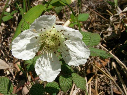クサイチゴ 春 白 5弁花