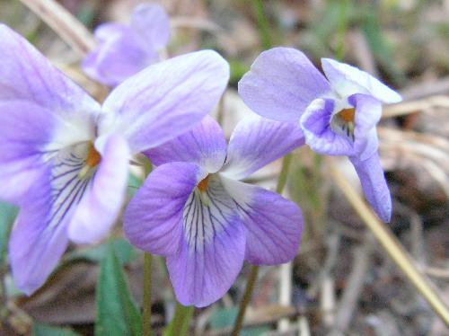 ナガバノタチツボスミレ 春 淡紫