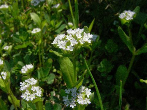 ノヂシャ 春 小さく白い花