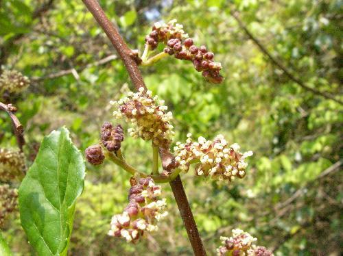 ツルコウゾ 春 雄花 つぼみは紫 黄緑