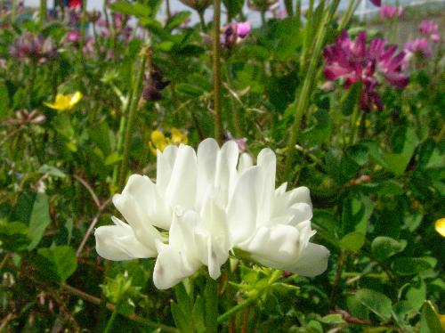 ゲンゲ 春 ごくまれに白花が発生する