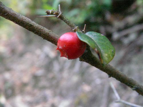 オオアリドオシ 冬に赤く熟す