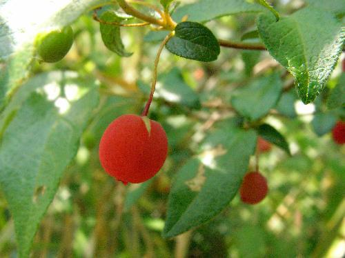 ウグイスカグラ 初夏 丸くて赤い実