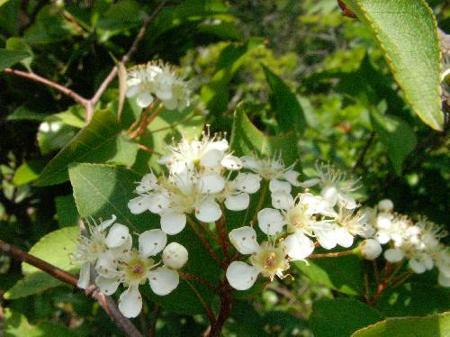 カマツカ 晩春 小さく丸くて白い花弁
