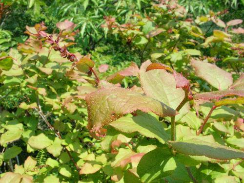 ナツハゼ 新しい葉も赤みを帯びる