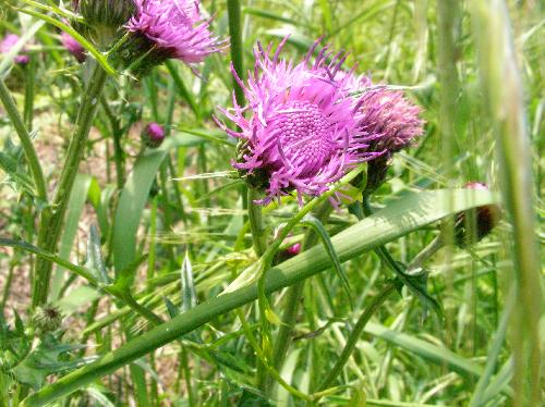 ノアザミ 春から初夏 赤紫