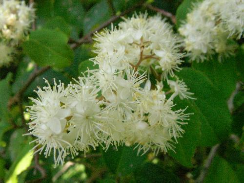 タンナサワフタギ 晩春~初夏 花糸の目立つ白い花