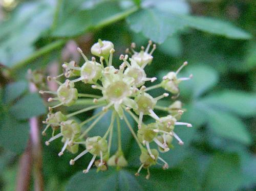 オカウコギ 晩春~初夏 黄緑の雄花