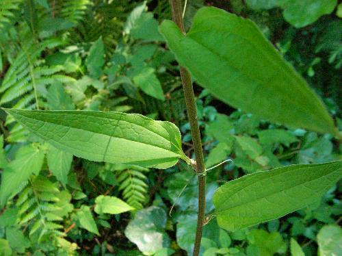 シオデ やや細長い卵形の葉 互生 全縁
