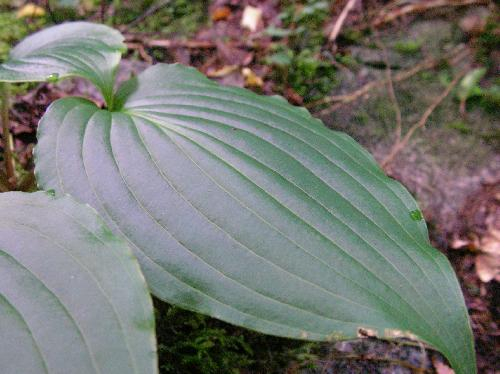 イワギボウシ 葉脈が明瞭でやや広く、葉柄も長い 全縁