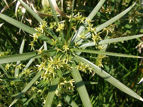 シュロガヤツリ 茎の先端に葉と花が付く 初春~初夏 黄緑