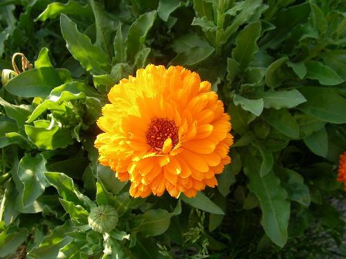 キンセンカ 春 オレンジ色(橙、黄)