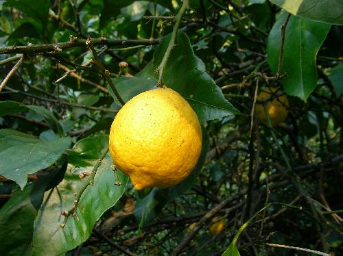 レモン 秋~冬 黄