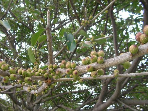 アコウ 夏赤茶色に熟す小さな球形でイチジクのような実をたくさんつける