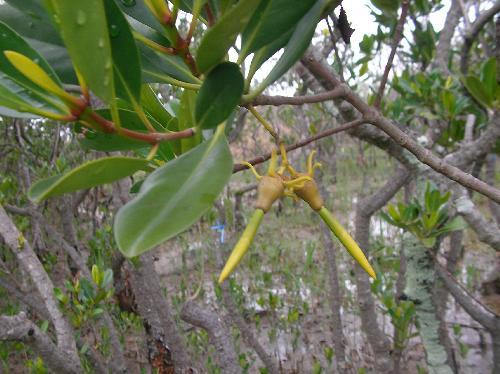 メヒルギ 春実は樹上で黄緑色に発芽し親木から養分をもらって発根