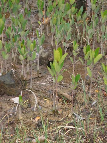 メヒルギ 樹上で発根し落下後地面に刺さって幼木となる