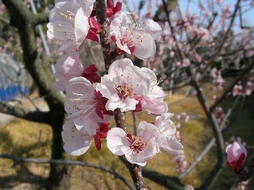 アンズ 春 赤みを帯びた白い花、ピンク