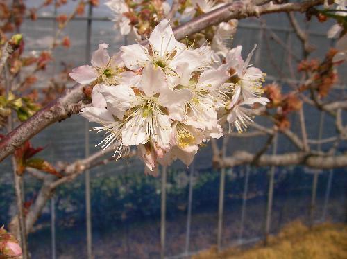 セイヨウミザクラ 春 淡い赤みを帯びた白い花