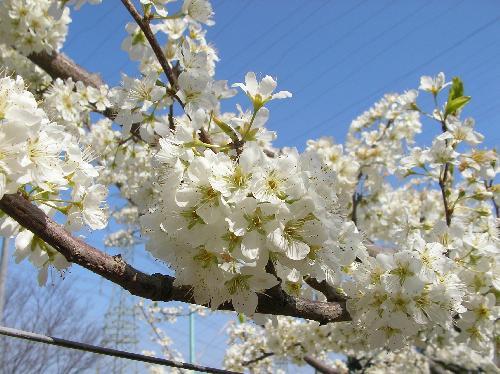 スモモ 春 白い花