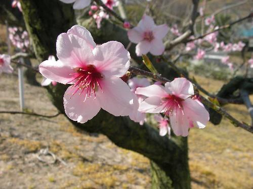 アーモンド 春にピンク