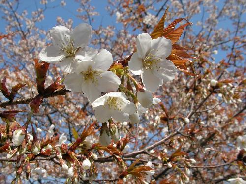 ヤマザクラ 春 白 山桜 ヤマザクラ