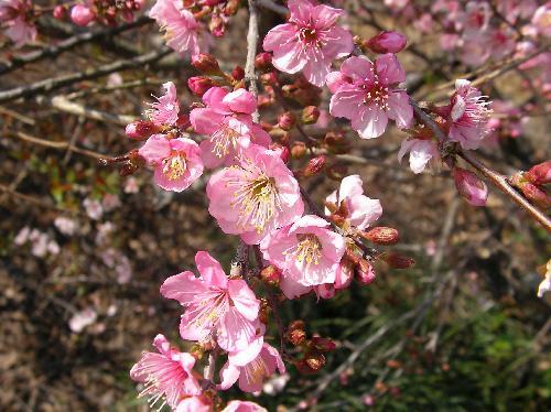 ニワウメ 春 ピンク