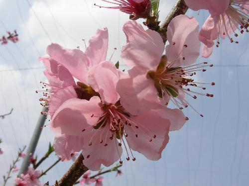 モモ 春 ピンク