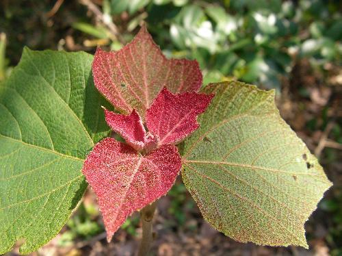 アカメガシワ 新芽は赤い
