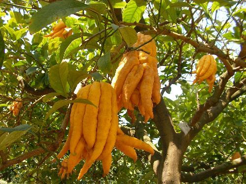 ブッシュカン 冬黄色い実は手の指のように分かれる