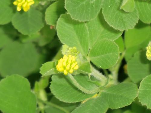 コメツブウマゴヤシ 春 小さな黄色い花