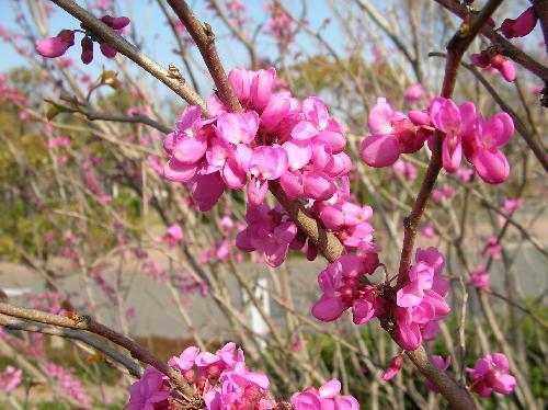 ハナズオウ 春 赤紫、ピンク