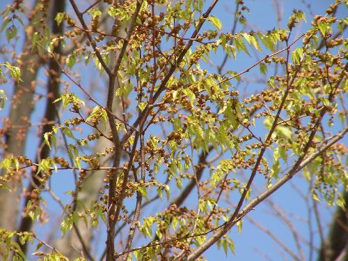 ケヤキ 春 黄緑色の小さな花