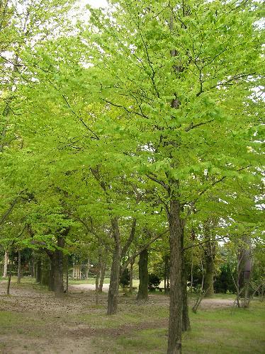 カツラ 新緑が美しい