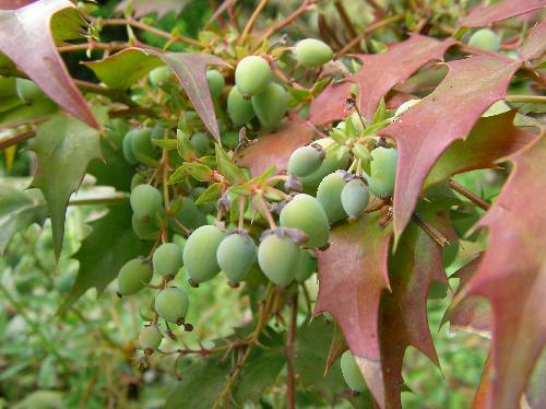 ヒイラギナンテン 未熟な青い実