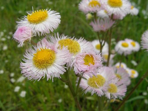 ハルジオン 春 白ピンク