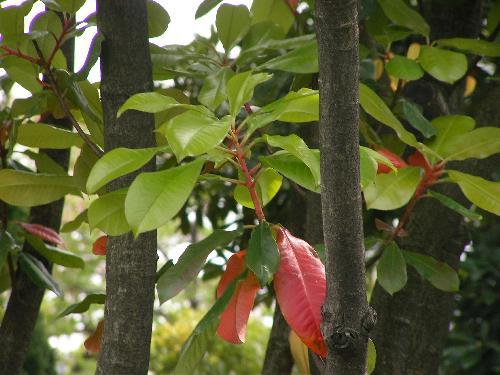 オオカナメモチ 比較的大きく楕円形で厚みがあり細かい鋸歯春に赤く紅葉