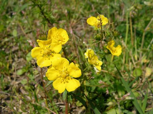 オヘビイチゴ 春 黄色い5弁花