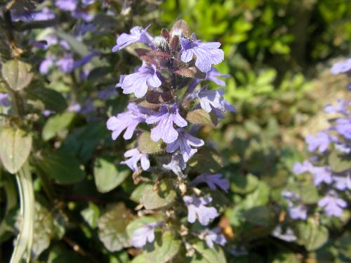 セイヨウジュウニヒトエ 春 青紫色の花が塔状に咲く