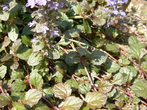 セイヨウジュウニヒトエ 葉は対生し匍匐茎で広がる 広楕円形鋸歯対生