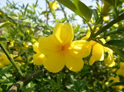 オウバイ 春 黄色 5裂または6裂