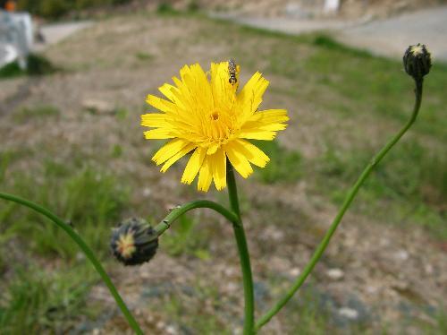 ブタナ 春 黄色